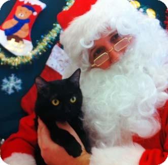Domestic Shorthair Kitten for adoption in Merrifield, Virginia - Huckleberry