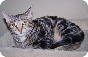 Domestic Shorthair Kitten for adoption in Colorado Springs, Colorado - K-Sophie3-Tasmania