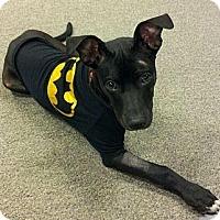 Adopt A Pet :: Halo - Dallas, GA
