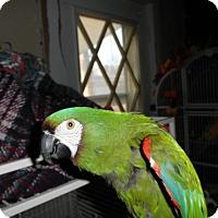 Adopt A Pet :: Pepe - Neenah, WI