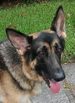 German Shepherd Dog Dog for adoption in Riverview, Florida - Rex
