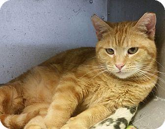 Domestic Shorthair Cat for adoption in Concord, Ohio - Julius