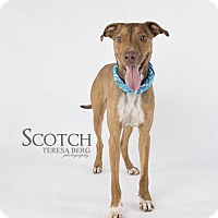 Pharaoh Hound/Great Dane Mix Dog for adoption in Dallas, Texas - Scotch