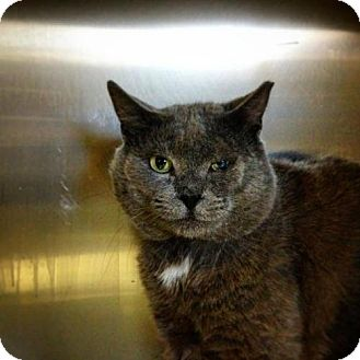 Domestic Shorthair Cat for adoption in Baltimore, Maryland - Sidney