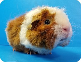 Guinea Pig for adoption in Lewisville, Texas - Desirae