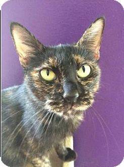 Domestic Shorthair Cat for adoption in Waggaman, Louisiana - Miley
