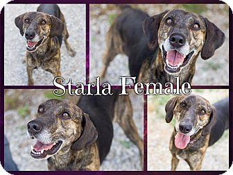 Plott Hound/Treeing Walker Coonhound Mix Dog for adoption in Portland, Maine - Starla (Senior Discount)(CR)