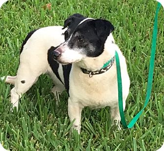 Dachshund/Rat Terrier Mix Dog for adoption in Homestead, Florida - Chicki Lou