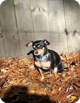Chihuahua/Miniature Pinscher Mix Dog for adoption in Holland, Ohio - Gidget