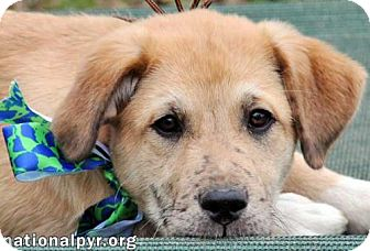 Great Pyrenees Mix Puppy for adoption in Beacon, New York - Freckles - new pup!