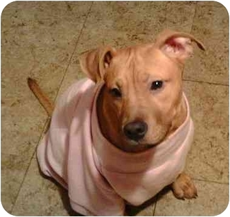 American Pit Bull Terrier/Golden Retriever Mix Puppy for adoption in Salem, Oregon - Ruby