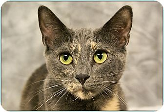 Domestic Shorthair Cat for adoption in Elmwood Park, New Jersey - Mona Lisa