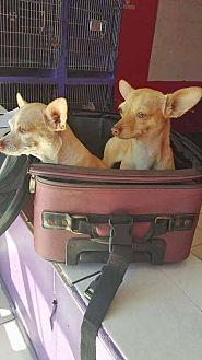 Chihuahua Mix Dog for adoption in Denver, Colorado - Lester