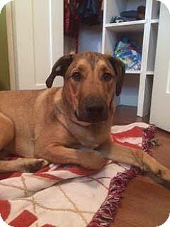 Pit Bull Terrier/Retriever (Unknown Type) Mix Puppy for adoption in Edmonton, Alberta - Jaxx