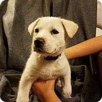 Adopt A Pet :: Mc Blue - Phoenix, AZ