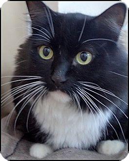 Domestic Shorthair Cat for adoption in Colorado Springs, Colorado - Abby Tuxedo