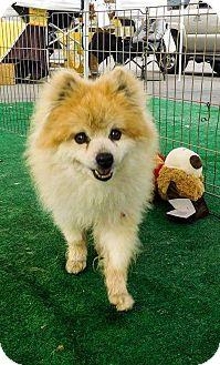 Pomeranian/Pomeranian Mix Dog for adoption in LAKEWOOD, California - Kona