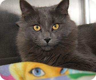 Russian Blue Cat for adoption in Marietta, Ohio - Elmo (Neutered)