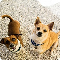 Adopt A Pet :: Foxy - St. Petersburg, FL