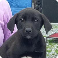 Adopt A Pet :: Trapper - Baltimore, MD