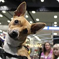Adopt A Pet :: Koda Ryan - Seattle, WA