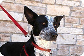 Australian Cattle Dog/Border Collie Mix Dog for adoption in Newcastle, Oklahoma - Cowboy