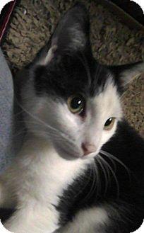 Domestic Shorthair Cat for adoption in Medford, Massachusetts - Cody