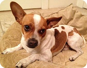 Chihuahua Mix Dog for adoption in Scottsdale, Arizona - Valentino