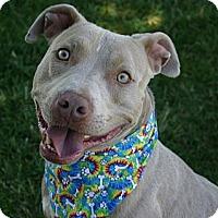 Adopt A Pet :: Wilson - $100 ADOPTION GRANT! - Auburn, CA
