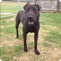 Shar Pei/Labrador Retriever Mix Dog for adoption in Barnwell, South Carolina - Spud