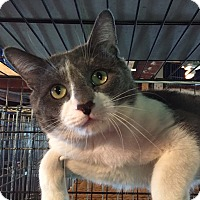 Domestic Shorthair Cat for adoption in Lombard, Illinois - Pat