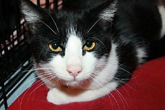 Domestic Shorthair Cat for adoption in Ephrata, Pennsylvania - Keyes