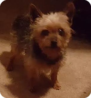 Yorkie, Yorkshire Terrier Dog for adoption in Freeport, New York - George