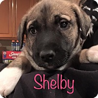 German Shepherd Dog Mix Puppy for adoption in Sugar Grove, Illinois - Shelby