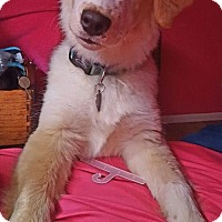 Adopt A Pet :: Cowboy - Colorado Springs, CO