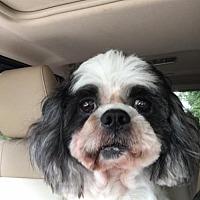 Shih Tzu Dog for adoption in Hedgesville, West Virginia - Gizmo Boy