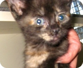 Maine Coon Kitten for adoption in Dallas, Texas - Softball