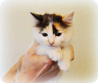 Calico Kitten for adoption in Arlington/Ft Worth, Texas - Jordan