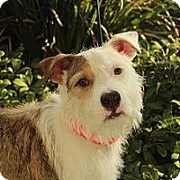 Adopt A Pet :: Rusty - Mission Viejo, CA