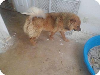 Chow Chow Dog for adoption in San Antonio, Texas - Maria