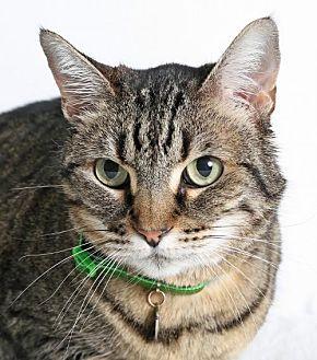 Domestic Shorthair Cat for adoption in Roseville, California - Sophie