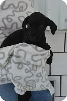 Labrador Retriever Mix Puppy for adoption in Saddle Brook, New Jersey - Sireena