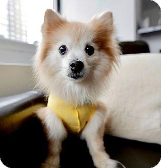 Pomeranian Dog for adoption in New York, New York - Sasha!