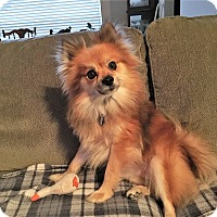 Adopt A Pet :: Saber - conroe, TX