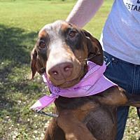 Adopt A Pet :: Barbie - McAllen, TX