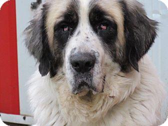 Great Pyrenees/St. Bernard Mix Dog for adoption in Kiowa, Oklahoma - Charlie