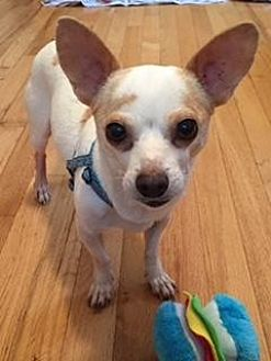 Chihuahua Dog for adoption in West Caldwell, New Jersey - Biscuit