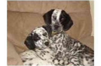Dalmatian Mix Dog for adoption in Milwaukee, Wisconsin - Mitzi