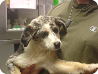Australian Shepherd/Border Collie Mix Puppy for adoption in Greencastle, North Carolina - Cookie