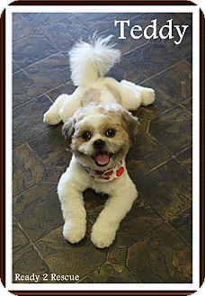 Shih Tzu Dog for adoption in Rockwall, Texas - Teddy